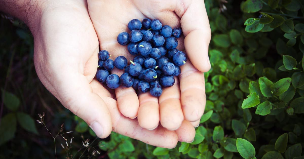 Blueberries in cupped hand